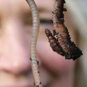 Lieblingskollege des Gärtners - Der Wurm verbessert den Boden (Foto)