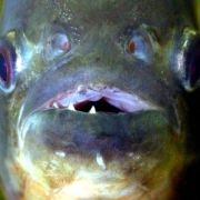 Angler in französischen Vogesen von Piranha gebissen (Foto)