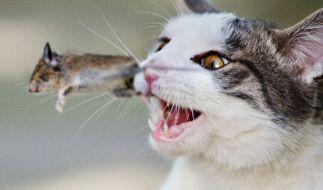 Nach Aussage des Nabu-Chefs reißen Katzen jährlich über 1.5 Millionen Wildtiere. (Foto)