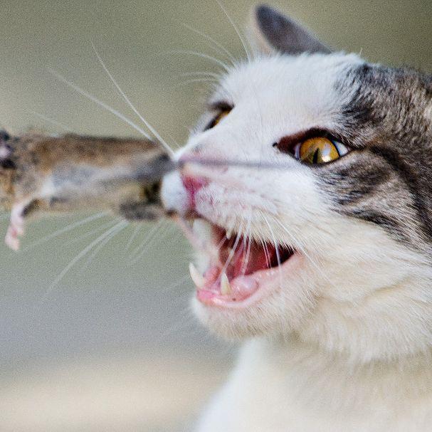 Tierschützer fordern: Katzen-Freigang verbieten! (Foto)