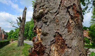 Das Sterben der Kastanien - Bakterium bedroht den Bestand (Foto)