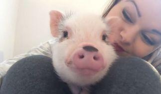 Das kleine Hausschwein Jude begeisterte im Sturm mit einem Youtube-Video die Netzgemeinde. (Foto)