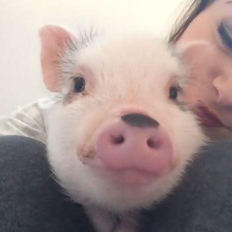 Grunzvergnügtes Hausschweinchen (Foto)