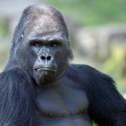 Tierarzt schießt Mann im Gorilla-Kostüm krankenhausreif (Foto)
