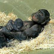 Zwergschimpanse in Berlin geboren (Foto)