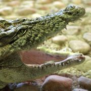 Totes Krokodil Max entpuppt sich als Münzsammler (Foto)