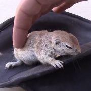 Hier wird ein Eichhörnchen ins Leben zurückgeholt (Foto)
