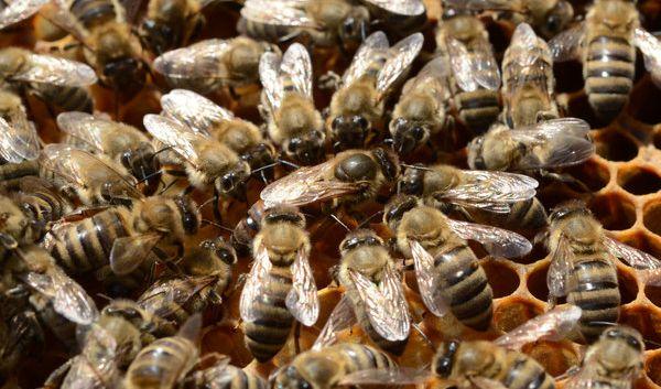 Riesenhonigbienen kommunizieren nicht nur sehr intelligent mit ihren Artgenossen, sondern sie besitzen auch einen ausgezeichneten Abwehrmechanismus. (Foto)