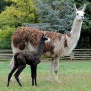Lamas sind klassische Fluchttiere. Doch die possierlichen Südamerikaner haben innerhalb ihrer eigenen Reihen eine echt eklige Verteidigungsstrategie.
