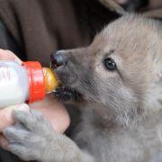 Der mit den Wölfen schlummert: Wolfsbabys schlafen im Bett (Foto)