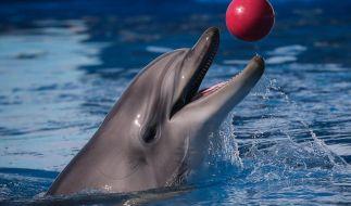 Eigentlich sollte er Englisch lernen, doch Delfin Peter wollte viel lieber Sex. (Symbolbild) (Foto)