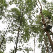 Eukalyptus-Erbgut entziffert (Foto)