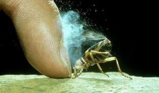 In der Tierwelt gibt es unzählige Verteidigungsstrategien gegen Fressfeinde. Der Bombadierkäfer schleudert zum Beispiel ein giftiges Gas auf seine Gegner. (Foto)
