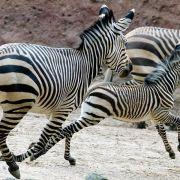 Naturschützer beobachten Rekordwanderung bei Zebras (Foto)