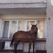 Raten Sie mal, warum dieses Pferd auf einem Balkon steht! (Foto)