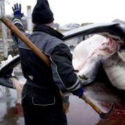 Erste Finnwale in Island gefangen (Foto)