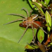 Spinnen fressen Fische - von Australien bis Europa (Foto)
