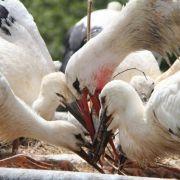 Weißstorch nimmt 18 Küken unter seine Fittiche (Foto)