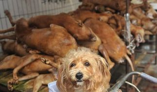 In China ist es Tradition, zum Sommeranfang tausende Hunde während eines Festivals zu essen. (Foto)