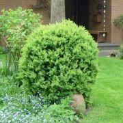 Stecklinge vom Buchsbaum in Mineralgemisch tauchen (Foto)