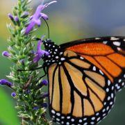 Monarchfalter orientieren sich auch per Magnetkompass (Foto)