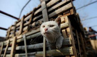 Tierschützer retteten 350 Katzen in China vor der Schlachtbank. Die Tiere sollten als Schweine- und Lammfleisch verkauft werden. (Foto)