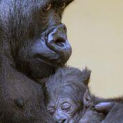 UN-Umweltversammlung warnt vor Aussterben der Menschenaffen (Foto)