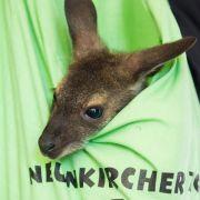 Tierärztin peppelt Känguru-Baby im Leinenbeutel auf (Foto)