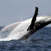 Sensation in der Ostsee: Erstmals zwei Buckelwale gesichtet (Foto)