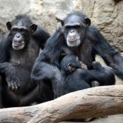 Intelligenz liegt zum Teil in der Familie – auch bei Schimpansen (Foto)