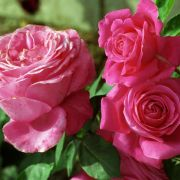 Wildtriebe an Gartenrosen entfernen (Foto)