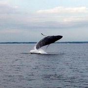 Walforscher: Buckelwal bereits länger in der Ostsee (Foto)
