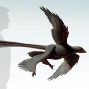 Saurier mit vier Flügeln: Schwanzfedern für sichere Landung (Foto)