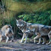 Schon 15 tote Wölfe seit Jahresbeginn in Deutschland (Foto)