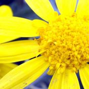 Viel gießen und düngen - Blüte der Strauchmargerite verlängern (Foto)