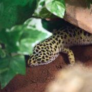 Leopardgeckos kommen erst abends zum Vorschein (Foto)
