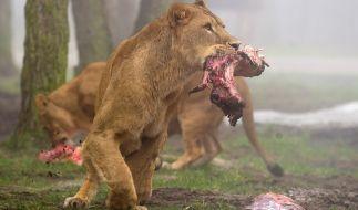 Löwenfütterung im Serengeti-Park in Hodenhagen. (Foto)