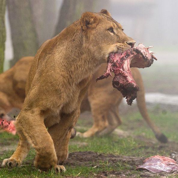 Fast zerfleischt: Urlauber-Familie von Löwen attackiert (Foto)