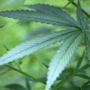 Gericht erlaubtPatienten Cannabis-Anbau gegen Schmerzen (Foto)