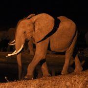 Lange gute Nase: Elefanten haben extrem guten Geruchssinn (Foto)