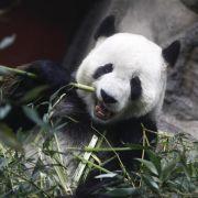 China erfolgreich bei Aufzucht von Großen Pandas (Foto)