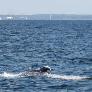 Buckelwal-Sensation: Wal-Kuh mit Kalb in der Ostsee (Foto)