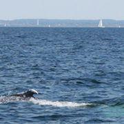 Buckelwal-Rätsel gelöst: Wal-Kuh mit Kalb in der Ostsee (Foto)