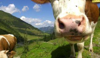 Besser auf Distanz gehen: Wanderer sollten einer Kuhherde vorsichtshalber nicht zu nahe kommen. (Foto)
