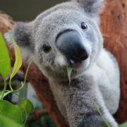 Koala düst 90 Kilometer durch Australien (Foto)