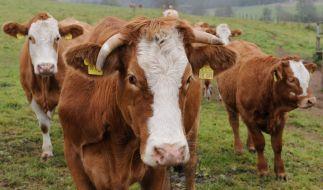 Tödlicher Angriff einer Kuhherde auf Wanderin: Wie gefährlich sind die Tiere wirklich? (Foto)
