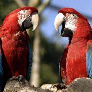 Papageien in neu eingerichtetem Käfig zusammenbringen (Foto)