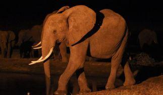 In China werden Elefanten von Drogenschmugglern mit Heroin gefüttert, um sie gefügig zu machen. (Foto)