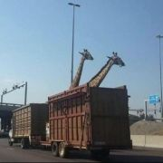 Oh nein! Gleich passiert das Giraffen-Unglück! (Foto)