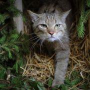 Einige Tausend Wildkatzen in Deutschland heimisch (Foto)